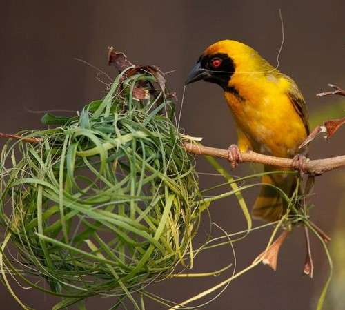 southern-masked-weaver_30710_600x450